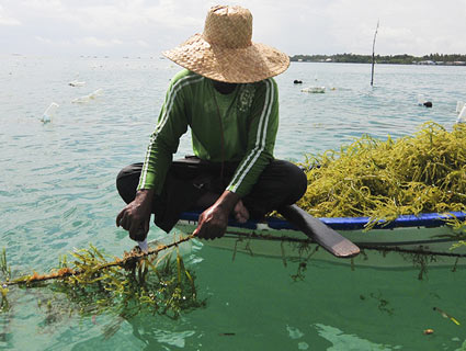 Person harvesting seaweed